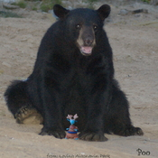 Bear & Poo, The Rare Blue Canadian Dwarf Dragon