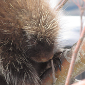 Mr. Porcupine