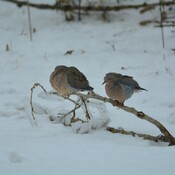 mourning doves from the other week georgetown, ontario, canada