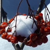 frozen mountain ash