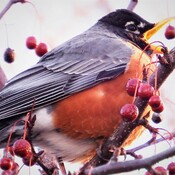 Robins gobblin' in the Crabapple tree