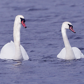 Mute Swans at Ault Island