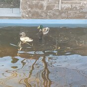 Spring is here! ducks in the pool.