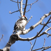 downy woodpecker georgetown, ontario, canada