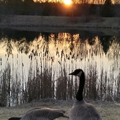 Geese & Sunset
