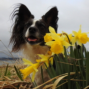 Dog and daffodils