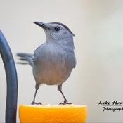 Catbirds are back