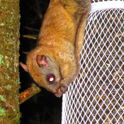 Rocky the Flying Squirrel at his fav feeder