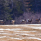 Small herd of deer outside Moncton