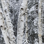 Birches, Elliot Lake