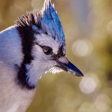 Up and close to a BlueJay