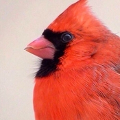 My close up series.. beautiful male Cardinal