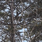 Can you see the Great Horned Owl?
