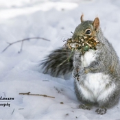 Grey squirrel mama getting her nesting material