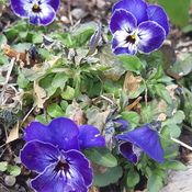 Good Morning Purple Violas