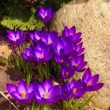 Crocuses come up in Little Italy, Toronto