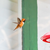 Tiny tiny humming bird