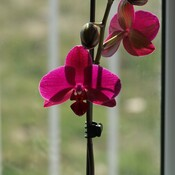 Wife's Orchid has now revived and is blooming!