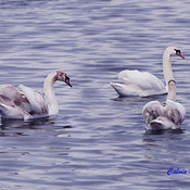 Three Mute Swan Cygnets from 2019