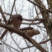 Mating season Cooper Hawks