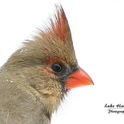 A beautiful female northern cardinal