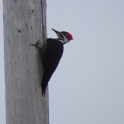 Hydro Pole Piliated Woodpecker