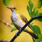 Golden oriole-Poshnool(male)