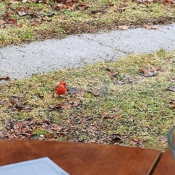Male Cardinal, our successfull Winter Warrior