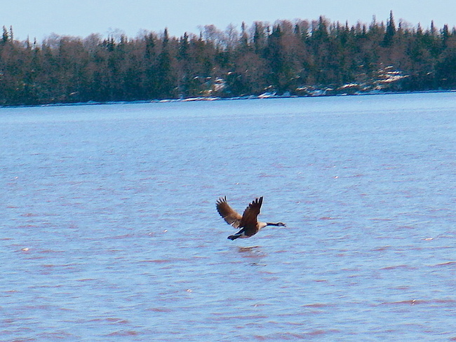 A real honker on open water Thunder Bay, ON