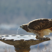 Thirsty red-tailed hawk
