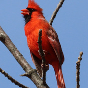 Northern Cardinal proclaiming his territory