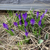 Pretty Purple Crocus's
