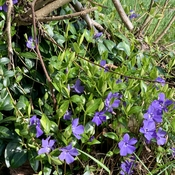 Periwinkle in the wild .