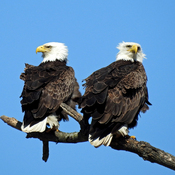 Bald eagles in Wheatley, On.