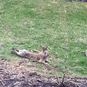 hare at the backyard