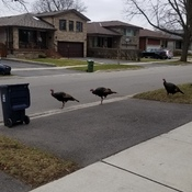 wild turky going for social distinctly walk in central etobicoke