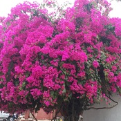 beautiful bougainvillea at Ranakpur Rajasthan India