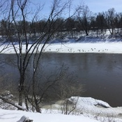 Geese on the Assiniboine river in Winnipeg