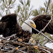 Bald Eagle in his nest