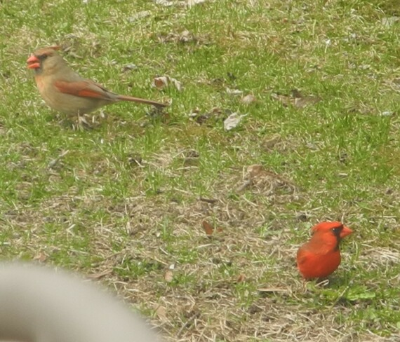 Red Cardinals Cavan-Monaghan, ON