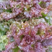 Purple Red Leaf Lettuce
