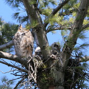 Neighborhood Great Horned Owls
