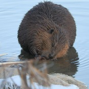 Hungry beaver