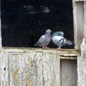 Pigeon couple on a rainy day