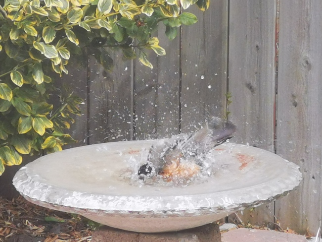 Robin taking a Bird Bath 9070 Conway Court, Windsor, ON