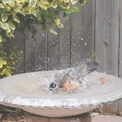 Robin taking a Bird Bath