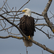 Bald Eagle in our front yard, Lower Sackville