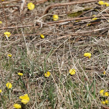 A first sign of Spring, the Yellow Coltsfoot!