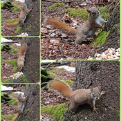 Red Squirrel Maternity Shoot