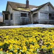 Winter aconites in front of abandoned house.